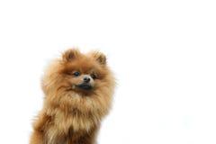 Pomeranianhond op de witte achtergrond Geïsoleerdes hond Stock Afbeeldingen