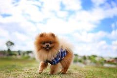 Pomeranianhond op een gang Hond openlucht Mooie hond Stock Foto