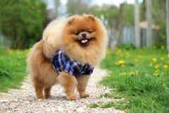 Pomeranianhond op plattelandsweg Mooie hond Royalty-vrije Stock Afbeelding