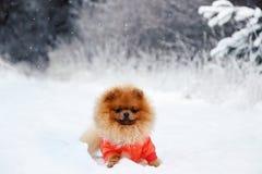 Pomeranianhond in sneeuw De winterhond Hond in sneeuw Spitz in de winterbos Royalty-vrije Stock Fotografie