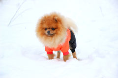 Pomeranianhond in sneeuw De winterhond Hond in sneeuw Spitz in de winterbos Royalty-vrije Stock Foto