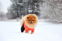 Pomeranianhond in sneeuw De winterhond Hond in sneeuw Spitz in de winterbos Royalty-vrije Stock Foto's