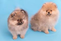 Pomeranianpuppy de leeftijd van 2 die maand op blauw wordt geïsoleerd Stock Foto