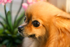 Pomeranianpuppy in Gedachten wordt verloren die Royalty-vrije Stock Afbeelding