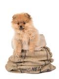 Pomeranianpuppy het hangen Royalty-vrije Stock Afbeelding