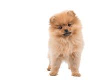 Pomeranianpuppy/hond Stock Foto