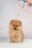 Pomeranianpuppy met een romantische achtergrond Royalty-vrije Stock Foto