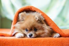 Pomeranianpuppy met onzelieveheersbeestjes Stock Afbeelding