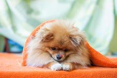 Pomeranianpuppy met onzelieveheersbeestjes Stock Foto's