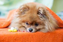 Pomeranianpuppy met onzelieveheersbeestjes Royalty-vrije Stock Foto's
