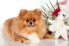 Pomeranianpuppy op een achtergrond van een boeket van bloemen Royalty-vrije Stock Foto's