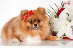 Pomeranianpuppy op een achtergrond van een boeket van bloemen Stock Foto