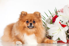 Pomeranianpuppy op een achtergrond van een boeket van bloemen Stock Afbeeldingen