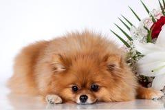 Pomeranianpuppy op een achtergrond van een boeket van bloemen Stock Fotografie