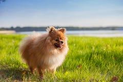 Pomeranianpuppy op gras Stock Foto's