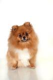 Pomeranianpuppy op witte achtergrond Royalty-vrije Stock Fotografie