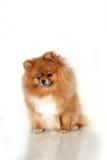 Pomeranianpuppy op witte achtergrond Royalty-vrije Stock Afbeeldingen