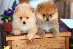 Pomeranians no ajuste do jardim Fotografia de Stock