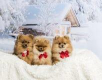 Pomeranians and Spitz sitting in winter scene wearing bow ties,. Pomeranians and Spitz sitting in winter scene wearing bow ties Stock Photo