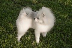 Pomeranianspitz op een leiband voor een gang in het park op het gazon royalty-vrije stock afbeelding
