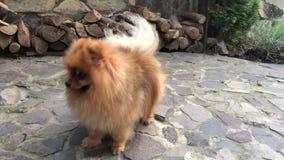 Pomeranianspitz op yard stock videobeelden