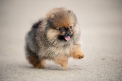 Pomeranianspitz puppy het lopen Royalty-vrije Stock Foto's