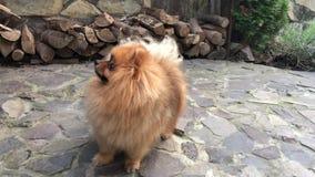 Pomeranianspitz in tuin stock video