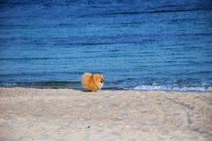 Pomeranianspitz weinig hond stock afbeelding