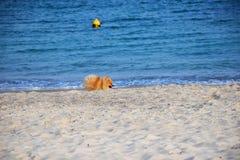 Pomeranianspitz weinig hond stock foto's