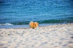Pomeranianspitz weinig hond royalty-vrije stock fotografie