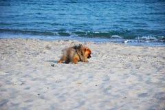 Pomeranianspitz weinig hond stock fotografie