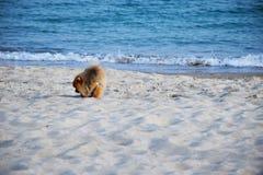 Pomeranianspitz weinig hond royalty-vrije stock afbeelding