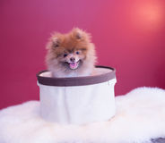 Pomeranina puppy. Smiling with his sweater and fluffy bedding, cutest dog Royalty Free Stock Photo