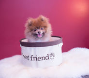 Pomeranina puppy. Smiling with his sweater and fluffy bedding, cutest dog Royalty Free Stock Photos