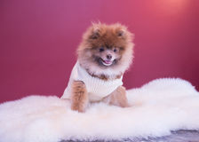 Pomeranina puppy. Smiling with his sweater and fluffy bedding, cutest dog Royalty Free Stock Photography