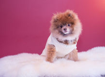 Pomeranina puppy. Smiling with his sweater and fluffy bedding, cutest dog Stock Photos