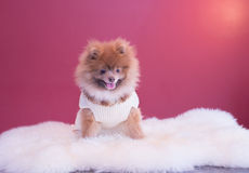 Pomeranina puppy. Smiling with his sweater and fluffy bedding, cutest dog Stock Photo