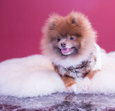 Pomeranina puppy. Smiling with his sweater and fluffy bedding, cutest dog Stock Photography