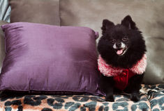 Pomerarian puppy stock photography