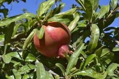 Pomergranate sur l'arbre Image libre de droits