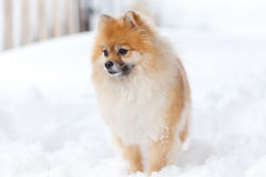 Pomerianian spitz in snow looking away Stock Photo