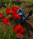 Pomeriggio dei tulipani in primavera a garde Fotografia Stock Libera da Diritti