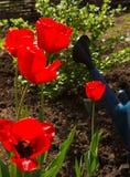 Pomeriggio dei tulipani in primavera a garde Immagini Stock Libere da Diritti
