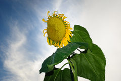 Pomeriggio del fiore di Sun Immagine Stock