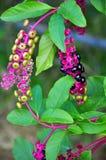 pomes лиловые Стоковое фото RF