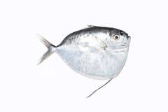 pomfret ψαριών λευκό Στοκ φωτογραφίες με δικαίωμα ελεύθερης χρήσης