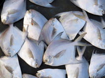 Pomfret Background Royalty Free Stock Photos