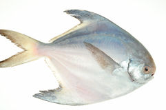 Pomfret Fish Stock Photography