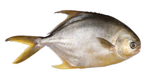 Pomfret fish Stock Images