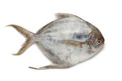 Pomfret fish Royalty Free Stock Photo